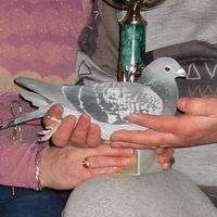 Nice pigeon